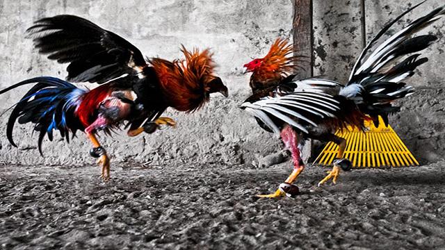 Situs Sabung Ayam Online Terbaik