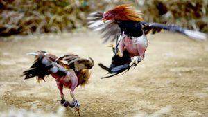 Agen Judi Laga Ayam Online Terpopuler