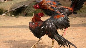 Judi Ayam Tarung S128 Depo Termurah