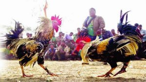 Situs Sabung Ayam Online Resmi