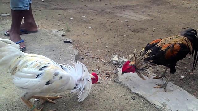 5 Tips Menang Taruhan Ayam Bangkok Sabung