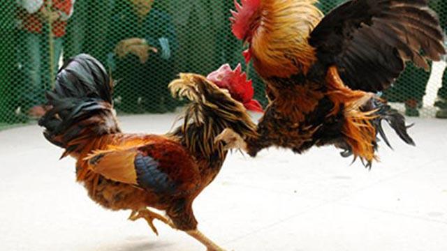 Keuntungan Judi Sabung Ayam Pw Online Uang Asli