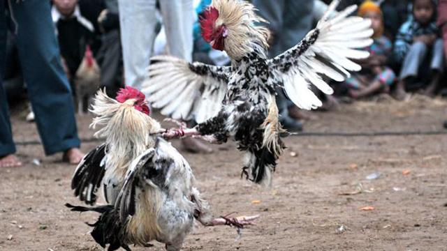 Main Judi Sabung Ayam Di Android
